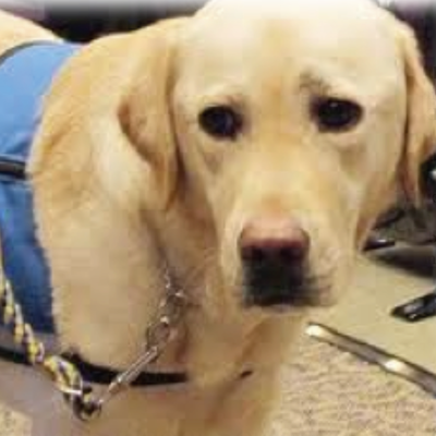 Image of a light-colored dog. It is looking to the side .It has a blue service vest on and has a leash on.